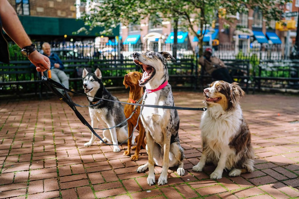 Dog walker with many dogs on the street in public